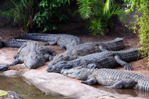 Crocodiles and Alligators