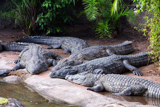 The Difference between Crocodiles and Alligators