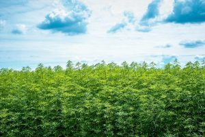 Is CBD Good for the Environment
